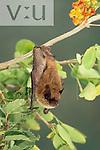 An adult male California Myotis. (Myotis californicus) Alamos, sonora, Mexico