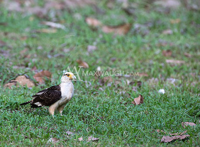 Yellow-headed caracaras are opportune scavengers.