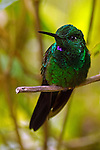 Perched Hummingbird