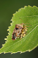 Parent Bug - Elasmucha grisea