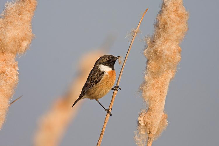 Stonechat - Saxicola torquata - male