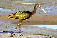 Courtesy photo/PHYLLIS KANE<br /> AN IBIS AMONG US<br /> An ibis patrols the shoreline Oct. 5 at the Charlie Craig State Fish Hatchery in Centerton. The hatchery is a popular birding destination.