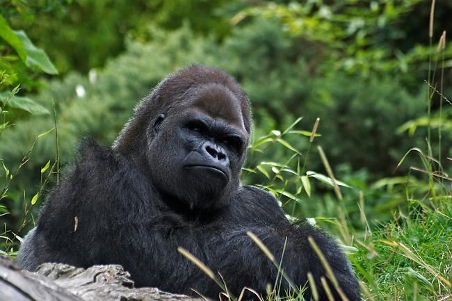 Wildlife photography, silverback gorilla