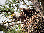 Bald eagle leaving nest in tree.