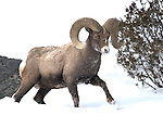 Big Horn Sheep & Mountain Goats