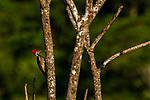 Lineated Woodpecker<br /> (Dryocopus lineatus) female, Mamoni Valley, Panama