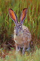 Black-tailed jackrabbit (Lepus californicus).