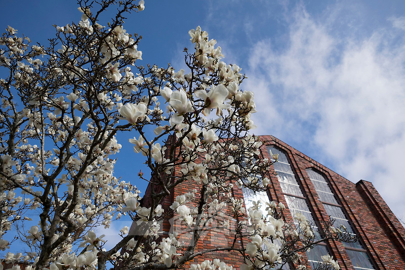 Japanese magnolia blossom next to Chapel of Memories.<br />  (photo by Megan Bean / &copy; Mississippi State University)