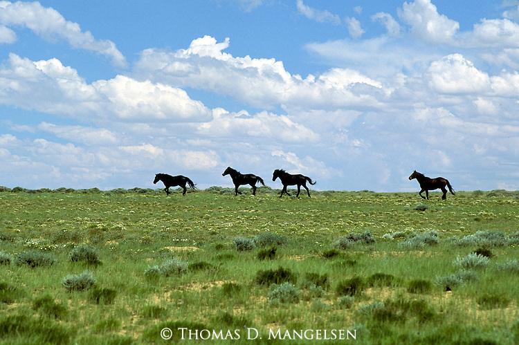 Wild Horses run along the horizon of the Red Desert in Wyoming.