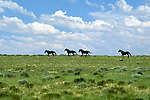 Wild Horses run along the horizon of the Red Desert in Wyoming.