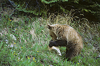 Grizzly bear cub (Ursus arctos) rolling over rock in search of ants and grubs. Northern Rockies.