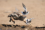 Blackbacked jackal, Canis mesomelas, chasing doves, Kgalagadi Transfrontier Park, South Africa