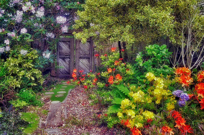 Pathway and blooming rhododendrons with gate at Thompson heather Gardens. California