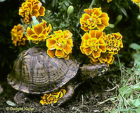 1R07-090z  Eastern Box Turtle - among marigolds - Terrapene carolina