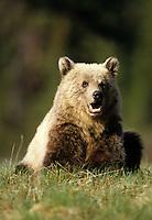 Grizzly Bear, Alberta, Canada,