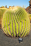 Cactus plants inside Jardin de Cactus designed by César Manrique, Guatiza, Lanzarote, Canary Islands, Spain - Cactaceae, Echinocactus Platyacanthus, from Puebla, Mexico