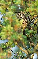 Steinkauz, Stein-Kauz, Kauz, Käuzchen, Athene noctua, little owl
