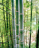 CHINA, Longsheng, bamboo trees in forest at the Dragon Backbone Rice Terraces