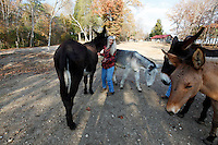 Deb Kidwell plays with her American Mammoth Jackstock on Saturday, Nov. 20, 2010 at Lake Nowhere Mule and Donkey Farm in Martin, Tenn. Kidwell breeds American Mammoth Jackstock, the only American breed of Ass, and one started by George Washington. The breed, however, is dying off with the mechanization of farm equipment.