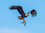 Bald Eagle flying with material for nest.