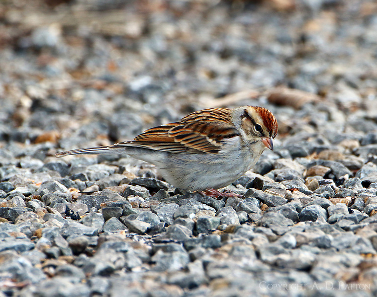 Adult chipping sparrow in January