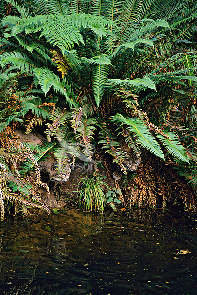 Bobcats (Lynx rufus) or (Felis rufus). Pacific Northwest.