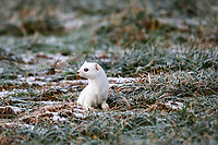 Ermine (Mustela erminea) in its winter coat, Allgaeu, Bavaria, Germany, Europe