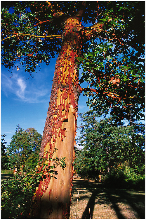 Peeling orange bark of Arbutus menziesii tree in park along the Gorge waterfront, Victoria, BC.