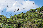 Vatu I Ra Island, Fiji; Black Noddy or White-capped Noddy (Anous minutus) sea birds from the Tern family, in the trees and flying above Bird Island