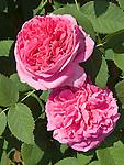 Yolande de Aragon Rose, Rosa hybrid