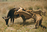 In Botswana a group of female lions singles out a weaker African buffalo from the herd and methodically takes it down. Lionesses do the hunting while the males stay back with the cubs.