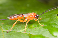 Ichneumon Wasp (Theronia hilaris) - Female, West Harrison, Westchester County, New York