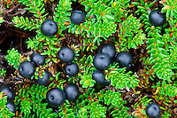 CROWBERRY Empetrum nigrum (Empetraceae) Height to 10cm. Mat-forming, Heather-like evergreen undershrub with stems that are reddish when young. Found on upland moors on damp, acid ground. FLOWERS are tiny and pinkish, with 6 petals; arise at base of leaves (May-Jun). FRUITS are shiny berries, 5-7mm across, green at first but ripening black in late summer. LEAVES are narrow, shiny and dark green, with inrolled margins. STATUS-Locally common only in N Britain.