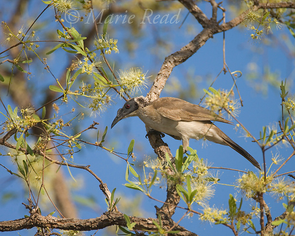 Helmeted Friarbird (Philemon buceroides), attracted to feed in flowering eucalyptus, Kakadu National Park, Northern Territory, Australia