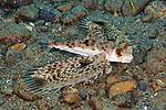 Dactyloptena orientalis, Helmet gurnard, Ambon, Indonesia