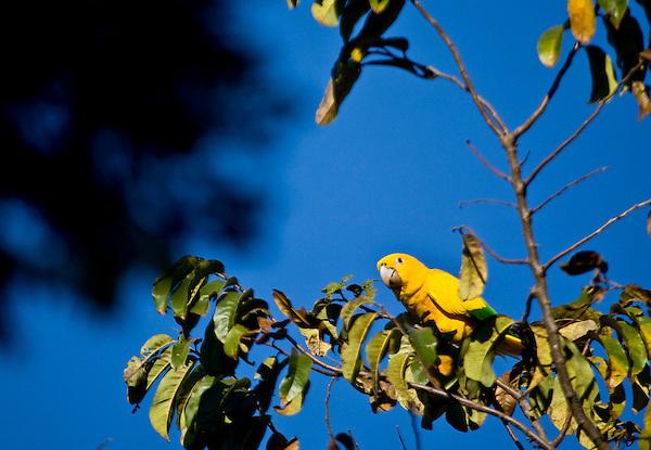 Nova Lima_MG, Brasil..Parque Estadual Serra do Rola Moca, Minas Gerais. Na foto um papagaio...The Rola Moca State Park, Minas Gerais. In this photo a parrot. ..Foto: JOAO MARCOS ROSA / NITRO.