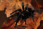 Tarantula Spider, Black Velvet Red Rump, Brachypelma vagans, on forest floor, leaf litter, jungle.Belize....