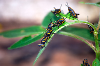 Lubber grasshopper nymphs doing what they do best in the Everglades ... devouring foliage.