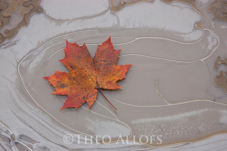 Maple leaf on frozen puddle, South island, New Zealand