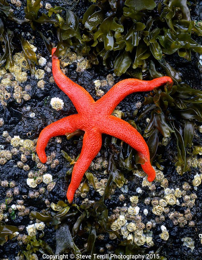 Blood sea star in tidepool on Oregon Coast