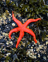 Blood sea star in tidepool on Oregon Coast