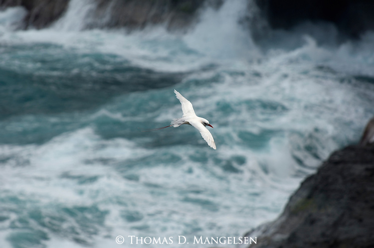 Red-tailed Tropicbird flying above the surf in Hawaii.