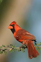 Northern Cardinal, Cardinalis cardinalis, male, Willacy County, Rio Grande Valley, Texas, USA, June 2006