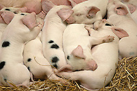 Gloucester Old Spot piglets sleeping.