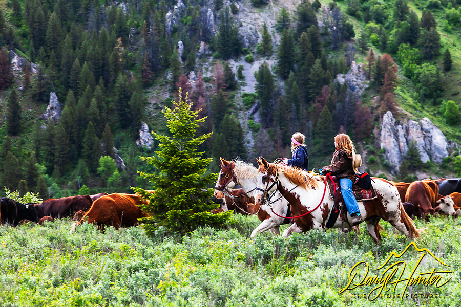 Nelson Cattle Drive is a family affair, two girls help with the cattle drive in , Alpine Wyoming.  June is the time many ranchers move their cattle to the mountains so they can grow hay on their property so the cows will have something to eat when they come out of the mountains for the winter...My photos are not to be used for anti public land ranching interests. The cowboys of the west are under assault because many don't like to see their cows on public land. I have written a couple of articles articulating the problem.