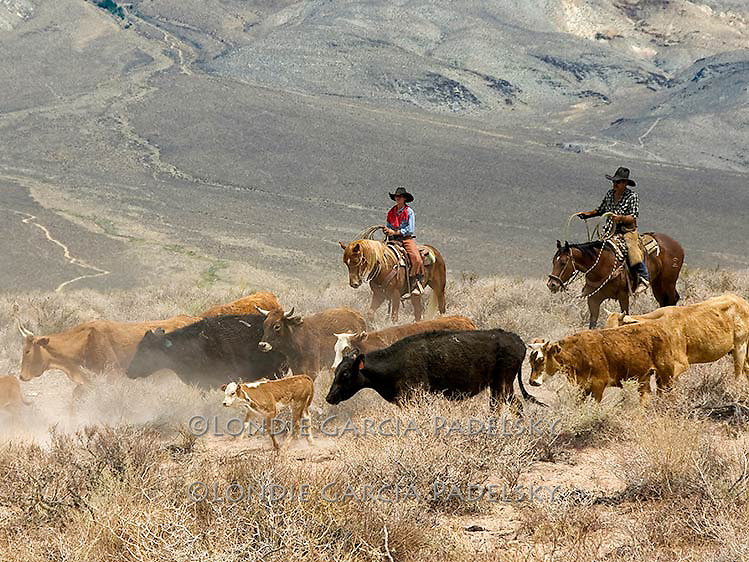 Cowboys herding cattle in the Owens Valley sagebrush, Eastern Sierra, California