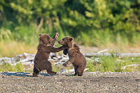 Two small brown bear spring cubs playfight in Katmai National Park, Alaska