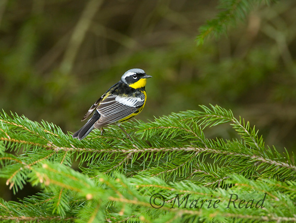 Magnolia Warbler (Dendroica magnolia) male in breeding plumage perched on a spruce branch, New York, USA