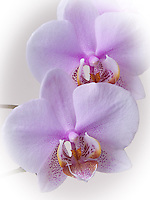 Macro Flower photo of an Orchid