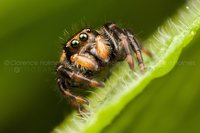 Jumping Spider (Phidippus clarus) - Immature female looking over the edge of a leaf, Ward Pound Ridge Reservation, Cross River, New York